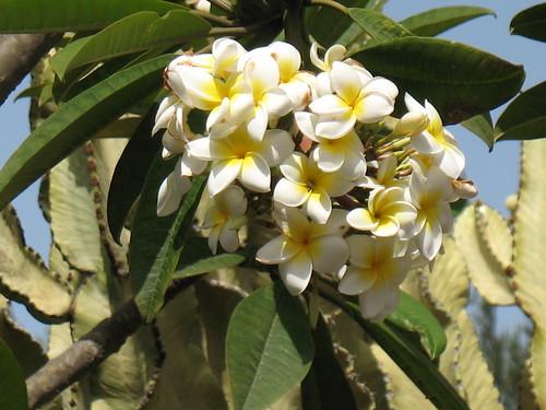 Costa Calma flowers