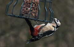 woodpecker (Themagster3) Tags: birds birdinginthewild britishbirds photosof