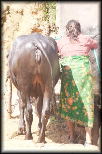 At the cow-wash, Nepal.