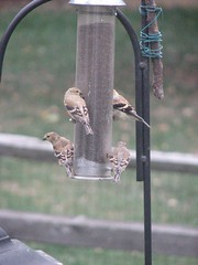 Hungry goldfinches
