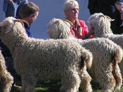 goat competition