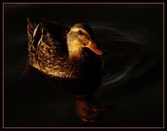 Beautiful tonight (Kirsten M Lentoft) Tags: lake reflection bird water female dark duck bec mywinners momse2600 infinestyle avianexcellence kirstenmlentoft