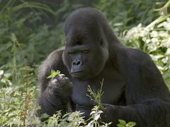 Djala eating nettles (gentle lemur) Tags: gorilla silverback portlympne