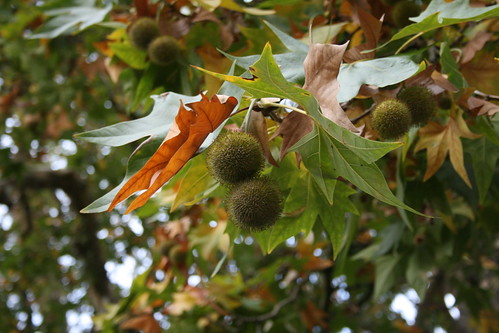 Horse Chestnut Tree - Several Unripe Conkers