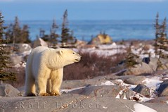 polar bear in landscape (Rolf Hicker Photography) Tags: world bear travel winter wild canada cute nature animal animals photography tiere photos wildlife bears manitoba polarbear churchill mammals polarbears marinemammal globalwarming hudsonbay naturephotography ursusmaritimus cuteanimals marinemammals travelphotography preditor rolfhicker canadapictures canadaphotography honeymooncanada polarbearpictures picturesofcanada hickerphotocom