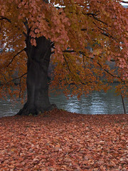 Beech in November - Buche im November (annjoch) Tags: november france frankreich strasbourg beech buche naturesfinest blueribbonwinner imagepoetry diamondclassphotographer