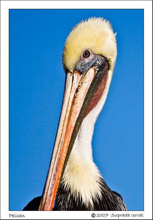 Pelican Mugshot