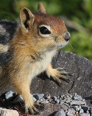 Enough pictures, now give me food! (4Durt) Tags: craterlake goldenmantledgroundsquirrel anawesomeshot curttoumanian