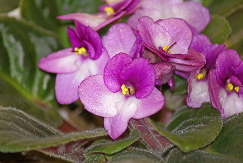 Jan-Bloom-Day-A.-violet