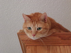 Moe on the Kitchen Cabinets (scott185 (the original)) Tags: cats pets rescuepets age8inlessthanaweek