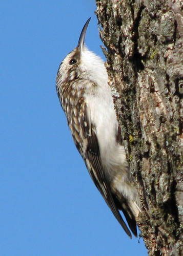 Brown Creeper ... landed next to me today