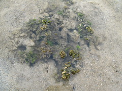 Coin Seaweed (Halimeda sp.)