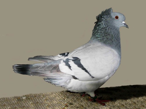 red fantail pigeon - 500×375