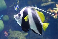 Coral reef fish IMG_9240 (OZinOH) Tags: columbuszoo columbus ohio fish coral zoo aquarium columbusohio reef columbusoh xt050mm