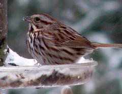 Sparrow - ID please