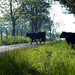 German Valley WV - Cows in the road.