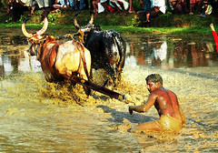 In a Bull Race, The Jockey Generally Gets to Eat Mud !!! (Anoop Negi) Tags: world travel blue girls sunset red sky people cloud india color colour men bird tourism monument nature water girl promotion festival race sunrise landscape photography for photo amazing women essay place image photos gorgeous indian picture culture landmarks traditions places kerala images f1 location bull racing best exotic human photograph hues journey land historical tradition moods anoop gree journalism negi waterscape themoulinrouge adoor photosof ezee123 mywinners maramadi bestphotographer imagesof maramady goldstaraward anoopnegi mahotsavam