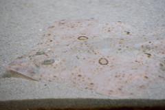 Raja inornata (California Skate) (mark6mauno) Tags: california aquarium nikon marine san pedro skate nikkor inornata raja sanpedro d3 cabrillo 105mmf28dmicro cabrillomarineaquarium ev6 nikond3