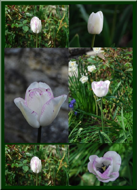tulipes blanches et mauves