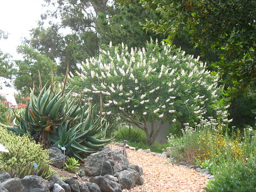 Aloe + Aesculus californica
