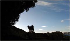 aguete_vilma_18_02_2017 (maxnemo) Tags: bordercollie dorgperro femaledog perra cadela can chien maxnemo