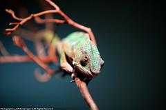 Beautiful chameleon (JeffSFO) Tags: reptile chameleon reptiles darckr decluttr sanjosereptileshow canon5dmarkii sanjosereptileshow2009