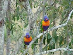 Pair of Lorikeets (vaughan1963) Tags: parrots lorikeets kooralbyn