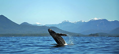A Humpback Whale Breeching (picaday) Tags: mountains nature amazing jumping tour natural tourist vancouverisland pacificocean tofino whale picaday humpback splash humpbackwhale whalewatching clayoquotsound pacificrimpark weighwest breeching picadayproductions