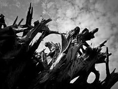 (Sally T. Buck) Tags: wood old canada tree rotting vancouver t coast britishcolumbia grain delta sally rotten buck bxw