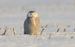 Snowy Owl (snooker2009) Tags: winter snow bird fall animal sunrise outdoors spring snowy wildlife raptor owl getty migration d800 thewonderfulworldofbirds photocontesttnc12 dailynaturetnc13