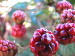 Raspberries (sgrace) Tags: ocean california park red food santacruz beach fruit coast harbor berry dof pacific bokeh twinlakes raspberries schwannlake