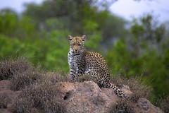 Young Leopard (Arno Meintjes Wildlife) Tags: africa wallpaper nature animal mammal bush wildlife safari explore leopard bigcat predator rsa carnivore pantherapardus specanimal arnomeintjes
