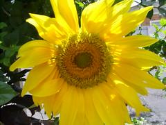 flores girassol (nilgazzola) Tags: brazil brasil de foto sp fotos ou com tirada maquina echapora gazzola nilceia nilgazzola