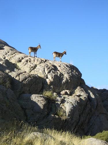 Cabras Montesas 2
