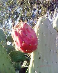 Cactus Milli