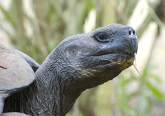 head held high (matt duke) Tags: portrait nature ecuador bokeh wildlife tortoise galapagos gianttortoise mattdukephoto