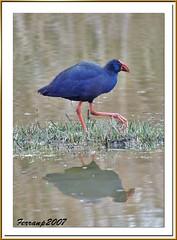 barcelona nature birds aves purpleswamphen porphyrioporphyrio ocells calamon remolar deltallobregat pollablava