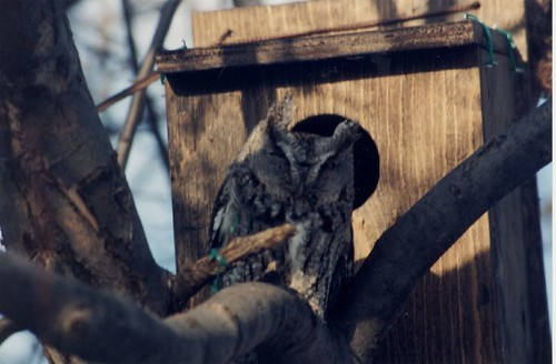 Screech Owl 03