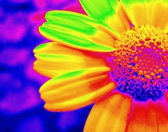 Rainbow Flower (lisaluvz) Tags: flower rainbow colours bright alien soe damncool takeabow dumpr lisaluvz goldstaraward