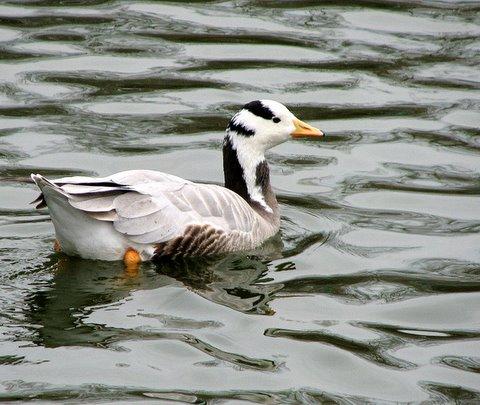 bar-headed goose forest park