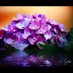 Purple Dreams (Soul101) Tags: flower water leaves flora nikon purple flood violet dreams ripples flooded d40 soul101