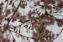 img_3539.jpg (DeviousZebra) Tags: tokyo sakura imperialpalace 20080402