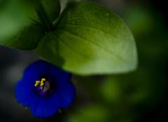 (_Zahira_) Tags: blue flower macro yellow azul lafotodelasemana flor olympus amarillo nd monfragüe e500 uro 35mmmacro ltytrx5 ltytr1 2ºolympicframe