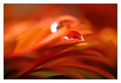 all color of red (Bruna Zavattiero) Tags: red orange macro verde green petals drops reflexions rosso petali arancio excellence gocce diamondclassphotographer flickrdiamond artlegacy gotasdrops goldstaraward macroflowerlovers explorewinnersoftheworld llovemypics artedellafoto