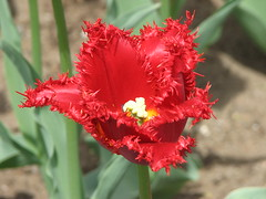 Ragged red tulip