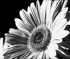 Gerbera (LinoPhilippe) Tags: chile flowers santiago flores flower floral fleurs nikon flor fiori nikkor fiore blte  1855mmf3556gvr kwiatu blommans
