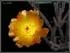 Pterocactus tuberosus (Hasan Ataç) Tags: