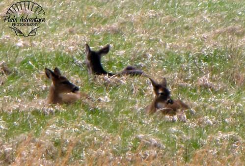 Deer in Cades Cove Watermark