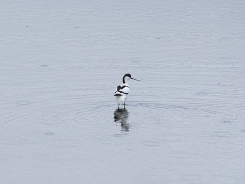 Avocet at Teeside Nature Reserve