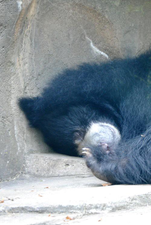Sleeping sloth bear 500